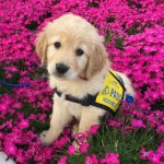 PADS Puppy-in-Training Lilo - Golden Retriever Puppy sitting in pink flowers with yellow working vest on.