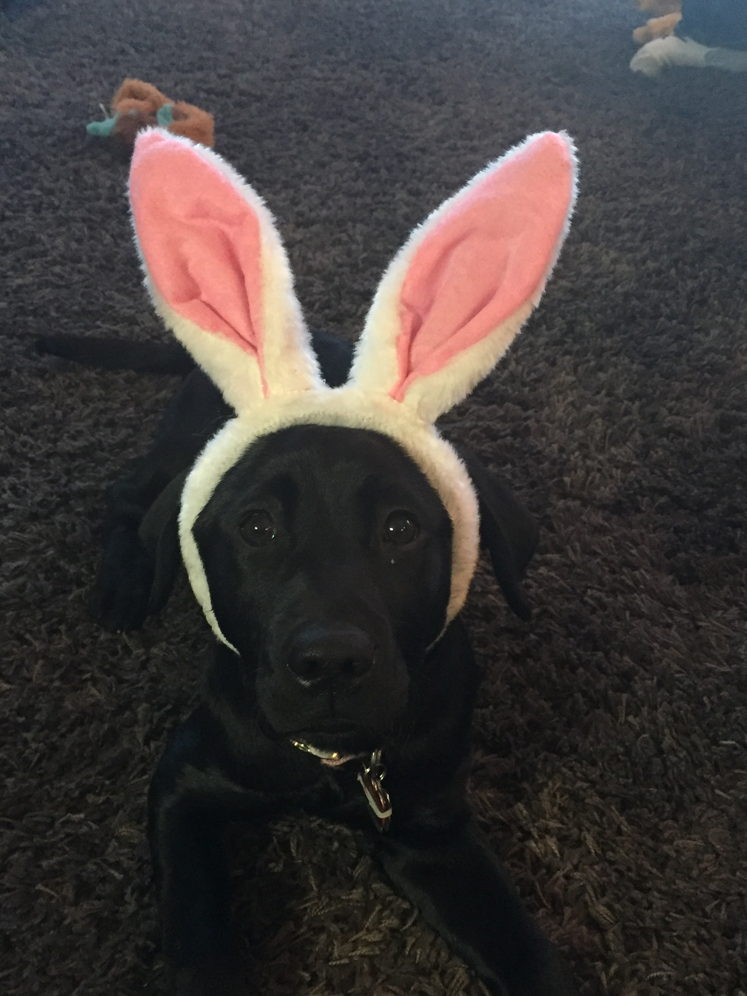 Dove, a black Labrador Retriever, is looking at the viewer from a down position and is wearing pink bunny ears.