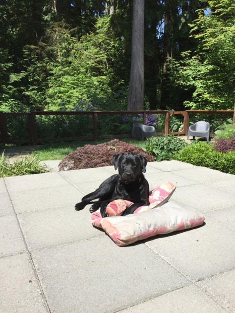 Old Dog Moves Bed Around Th House